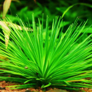 Eriocaulon-Cinereum-caresheet-information-Erio-Cinereum-for-sale-and-where-to-buy-Aquaticmag-4