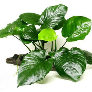 anubias_barteri_broadleaf__king_kong_on_driftwood__living_waters